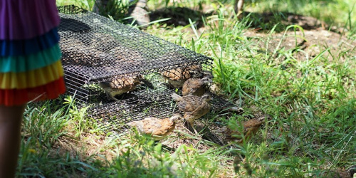 release of quail